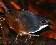 Bahia Tapaculo (endemic and Critically Endangered in IUCN Red List)
