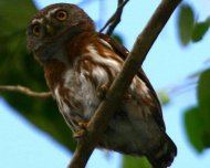 Least Pygmy-Owl, also known as Brazilian Pygmy-Owl.