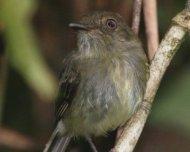 Acre Tody-Tyrant (Hemitriccus cohnhafti), endemic.