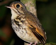 New species descibed in 2012, the endemic Alta Floresta Antpitta. The scientific name (Hylopezus whittakeri) was given in honor to Birding Brazil Tours founder Andrew Whittaker.