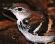 Banded Antbird singing