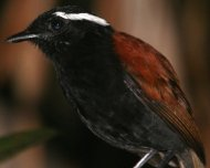 Black-bellied Gnateater male (endemic)