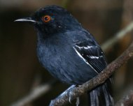 Black-tailed Antbird male (Near Threatened in IUCN Red List)