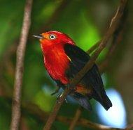 Crimson-hooded Manakin male
