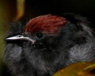 Glossy Antshrike juvenile roosting (endemic)
