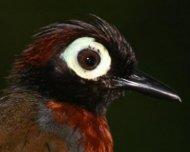 Harlequin Antbird (endemic)