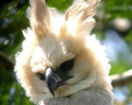 Juvenile Harpy Eagle on nest (Near Threatened in IUCN Red List)