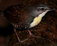 Rusty-belted+Tapaculo