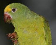 Tui Parakeet eating Cecropia fruit.