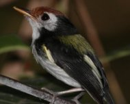 White-cheeked Tody-Flycatcher (bamboo specialist in Acre)