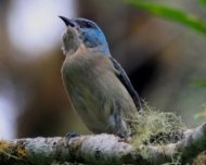 """Black-legged Dacnis female at nest. You can read Andrew Whittaker paper named """"First nesting records of the Black-legged Dacnis (Dacnis nigripes), with notes on field identification, ecology, conservation and recent records from Espírito Santo, Brazil"""" in his bio."""