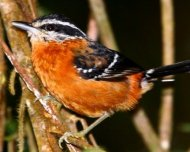 Ferruginous Antbird (endemic)