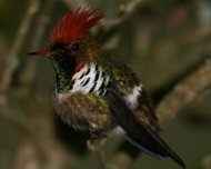 Frilled Coquette (endemic)