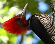 Helmeted Woodpecker (Vulnerable in IUCN Red List)