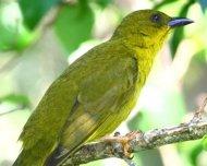 Olive-green Tanager (endemic)