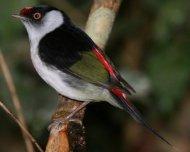 Pin-tailed Manakin (endemic)