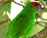 Red-capped Parrot, also known as Pileated Parrot