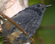 Rio de Janeiro Antbird immature (endemic and Near Threatened in IUCN Red List)
