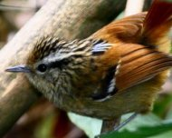 Rufous-tailed Antbird (endemic and Near Threatened in IUCN Red List)