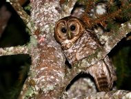 Rusty-barred Owl (endemic to the Atlantic Forest)