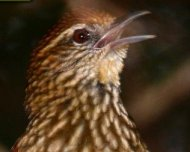 Striated Softtail singing (endemic and Vulnerable in IUCN Red List)