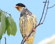 Swallow-tailed Cotinga male (Near Threatened in IUCN Red List)