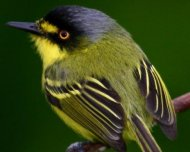 Yellow-lored Tody-Flycatcher, also known as Gray-headed Tody-Flycatcher (endemic)