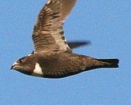Biscutate Swift