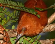 """Caatinga Cacholote. Check the paper """"The Rufous Cacholote (Furnariidae: Pseudoseisura) is two species"""" in Andrew"""