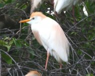 Cattle Egret colony