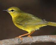 Flavescent Warbler