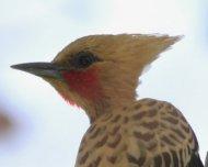 Ochraceous Woodpecker