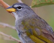 Pale-throated Pampa-Finch (endemic and Near Threatened in IUCN Red List)