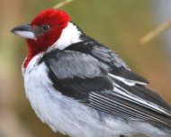 Red-cowled Cardinal (endemic)