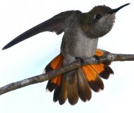 Ruby-topaz Hummingbird female stretching