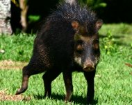 White-lipped Peccary with aggresive behavior