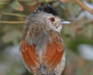 Rufous-winged Antshrike male