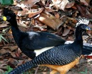 Bare-faced Curassow pair