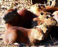 Capybaras group