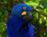 Hyacinth Macaw preening