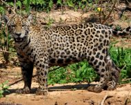 Jaguar female
