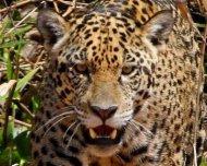 Jaguar female hunting