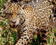Jaguar female hunting