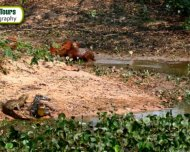 Yacare Caiman and Capybaras