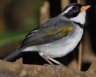 Saffron-billed Sparrow (devillei ssp.)