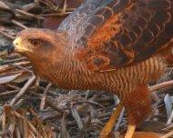 Savanha Hawk feeding on freshly killed Gray-breasted Wood-Rail