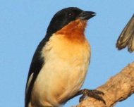 White-rumped Tanager