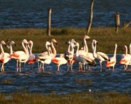 Mixed flock of Chilean Flamingo and the smaller rare vagrant Andean Flamingo.