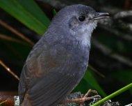 Brasilia Tapaculo (endemic)