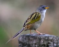 Lesser Grass Finch